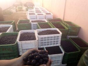 olive maroc 1